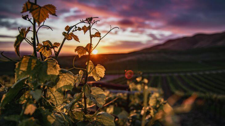 【白ブドウ品種リースリングを識る】春にはリースリングが美味しいと思う。